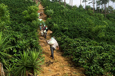 Finca Terrerito team carrying coffee sacks up hill